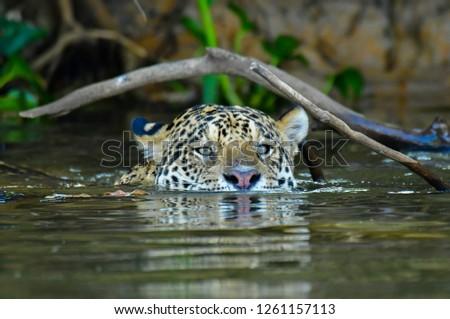 Pantanal's Jaguar  #1261157113