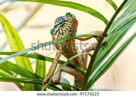 Panther chameleon, endemic reptile of Madagascar