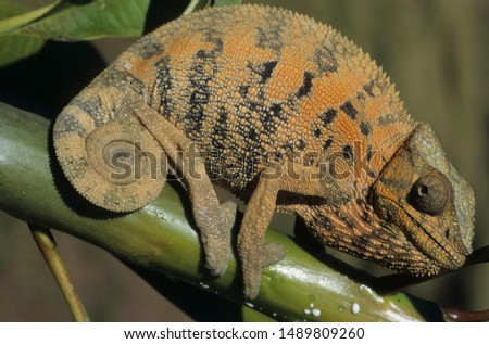 Panther Chameleon female in Madagascar
