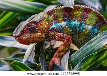 Photo of  Panther Chameleon (Furcifer pardalis), fauna of Madagascar