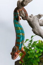Panther Chameleon Hanging by Tail on Branch