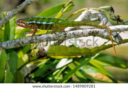 Panther Chameleon male in Madagascar