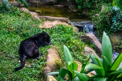 panther resting, a majestic jungle animal