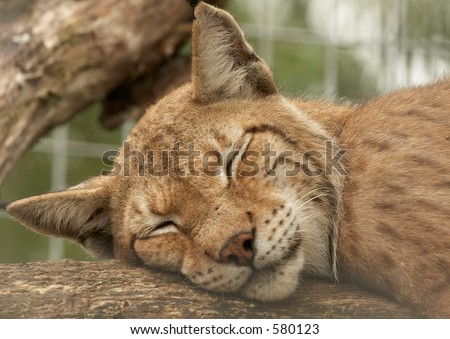 Panther sleeping on a branch