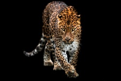 Panther with a black background