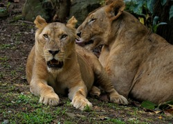 Panthera leo leo is a lion subspecies, which is present in West Africa, northern Central Africa and India. In West and Central Africa it is restricted to fragmented and isolated populations