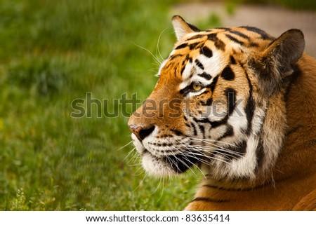 Panthera tigris altaica male face closeup