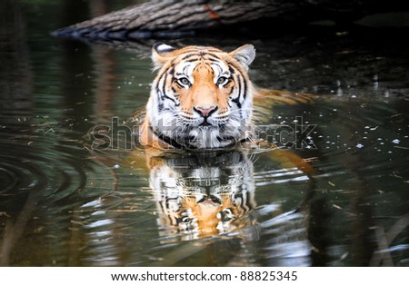 Panthera tigris tigris commonly know as bengal tiger looking straight into camera