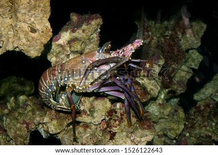 Panulirus argus, the Caribbean spiny lobster. Spiny lobster, langustas, langouste, or rock lobsters  (Palinuridae) #1526122643