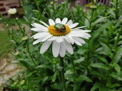Papatya üzerine konmuş bir böcek