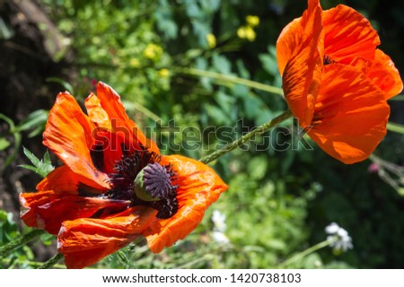 Papaver has medicinal properties. Stems contain latex milk, latex in opium poppy Papaver somniferum contains several narcotic alkaloids, including morphine and codeine. Poppy seeds baking and cooking #1420738103