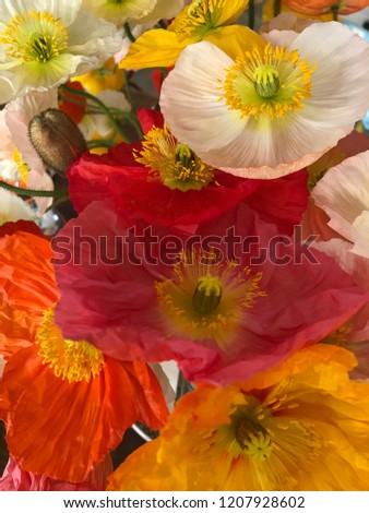 Papaver nudicaule commonly known as iceland poppy flowers #1207928602
