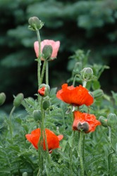 Papaver orientale, the Oriental poppy red flowers