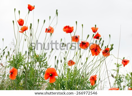 Papaver rhoeas common names include corn poppy , corn rose , field poppy , Flanders poppy , red poppy , red weed , coquelicot .