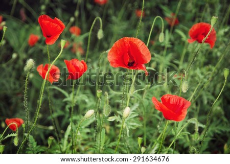 Papaver rhoeas (Corn poppy, Corn rose, Field poppy, Flanders poppy, Red poppy, Red weed, Coquelicot) in the summer meadow. Natural background.