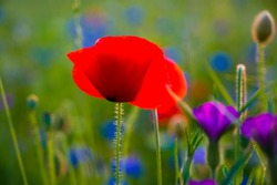 Papaver rhoeas or common poppy, corn poppy or red poppy is an annual herbaceous species of flowering plant in the poppy family,  Papaveraceae. with red petals and blue blooming Cornflowers in a meadow