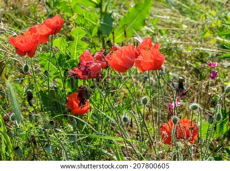 Papaver rhoeas red flower, common names include corn poppy, corn rose, field poppy, Flanders poppy, red poppy, red weed, coquelicot.