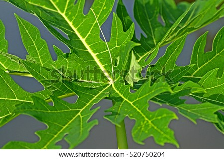 Papaya leaf #520750204