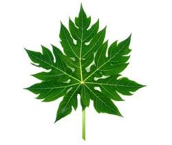papaya leaf, green papaya leaf isolated on the white background