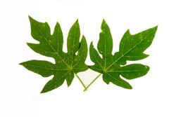 Papaya leaf isolated on white background Papaya tree leaves on a white background Papaya leaves are diseased  leaves Green papaya leaves on a white background