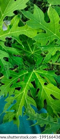 Papaya leaves are still young and light dark green gradation.