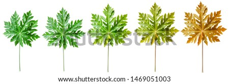 Papaya leaves from young leaves to old leaves.Papaya leaves isolate on white background #1469051003