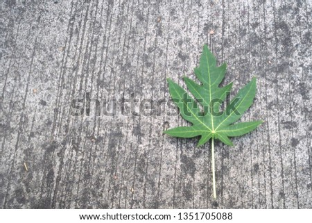 Papaya leaves on the cement floor, cement background, road cement #1351705088
