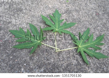 Papaya leaves on the cement floor, cement background, road cement #1351705130