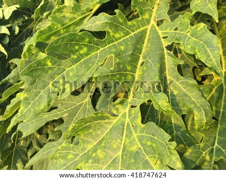 Papaya Plant Diseases Pictures