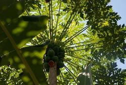 papaya tree crown with fruits