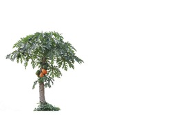 Papaya tree of Thailand on a white background.Set with clipping part.