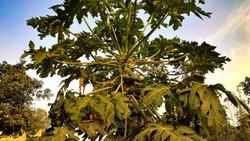 papaya tree with many papayas, fruit tree