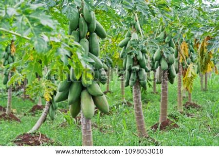 Papaya Trees in a row - Alajuela province, Costa Rica