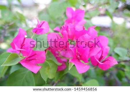 Paper flower or Bougainvillea, Is a semi-perennial shrub type Size from small shrubs to large shrubs. #1459456856