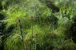Paper reed (Cyperus papyrus), Reunion