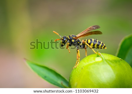 Photo of  Paper Wasp cleaning up on a peony