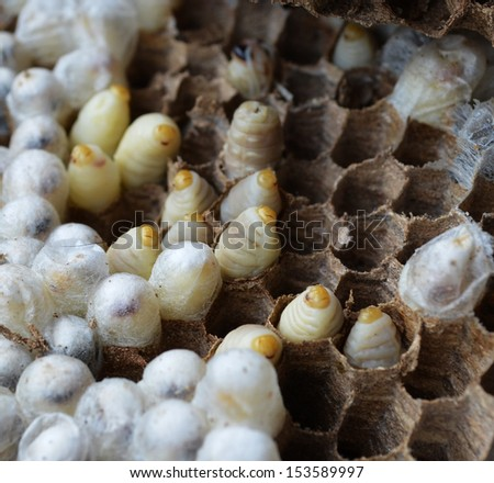 Paper wasp larvae in a nest