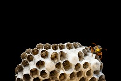 Paper Wasp Nest with Eggs and Larva  in cells, grouped together to form a comb. Macro of insects. Isolated on black background. Pest Management Concept.