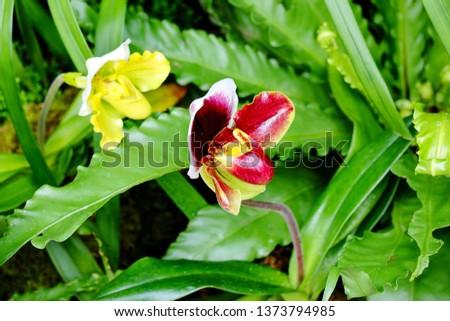 Paphiopedilum hybrids