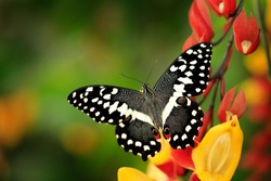 Papilio demodocus, citrus swallowtail or Christmas butterfly on the red and yellow flower in the nature habitat. Beautiful insect from Tanzania in Africa. Wildlife scene from nature. Grey butterfly.