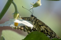 Papilio demoleus Butterfly. Also known as lime butterfly, lemon butterfly, lime swaallowtail, and chequered swallowtail in brinjal plant.