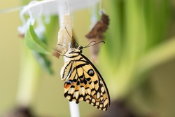 Papilio Machaon is a large tropical butterfly that hatched from a cocoon and sits clinging to it, drying its wings.