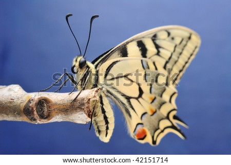 Papilio machaon Swallowtail butterfly