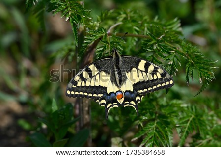 Photo of  Papilio machaon, the Old World swallowtail, is a butterfly of the family Papilionidae. The butterfly is also known as the common yellow swallowtail or simply the swallowtail