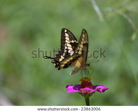 Papilio paeon commonly known as a  Swallowtail  butterfly at rest on pink flower, Ometepe Island, Nicaragua
