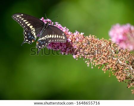 Photo of  Papilio polyxenes, the eastern black swallowtail, American swallowtail or parsnip swallowtail