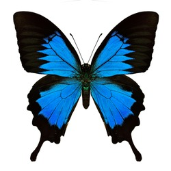 Papilio ulysses, Blue emperor or Blue mountain swallowtail butterfly, beautiful bright blue among dark black wings showing upper profile isolated on white background