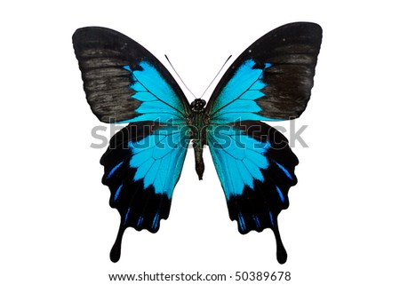 Papilio ulysses - butterfly isolated on white.