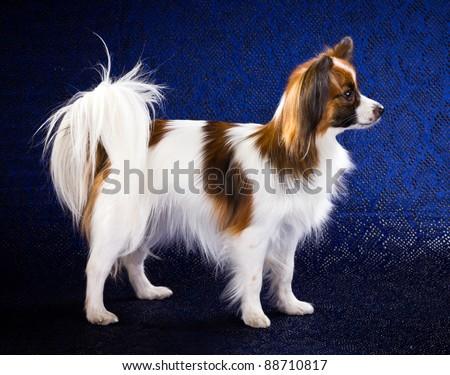 Papillon dog breed on dark blue background