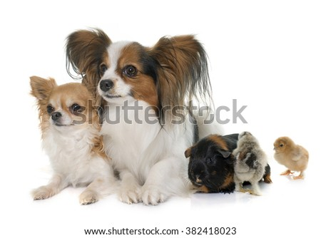 papillon dog  chihuahua  chicks ...